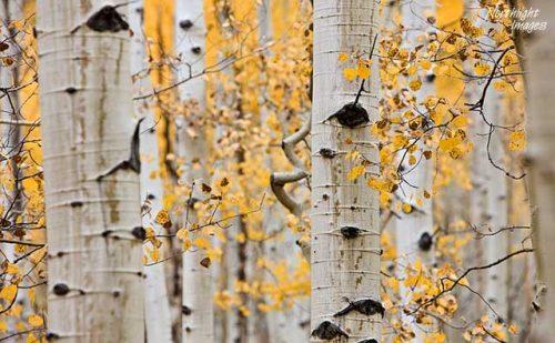 Quaking Aspen Tree Bark and Leaves