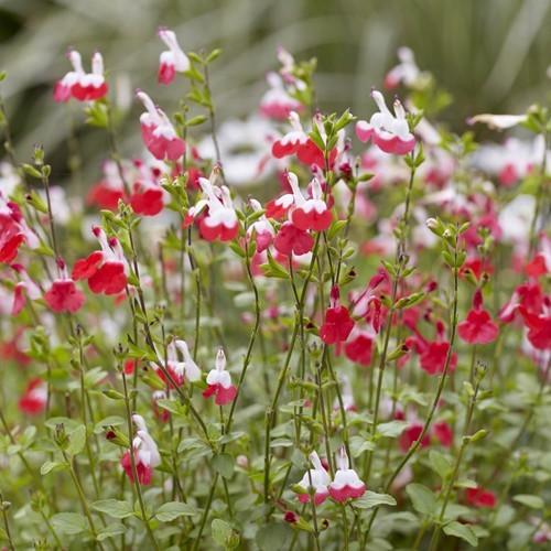 Salvia microphylla Hot Lips 15 cm