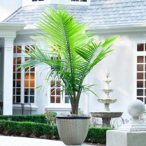 Majesty Palm Tree