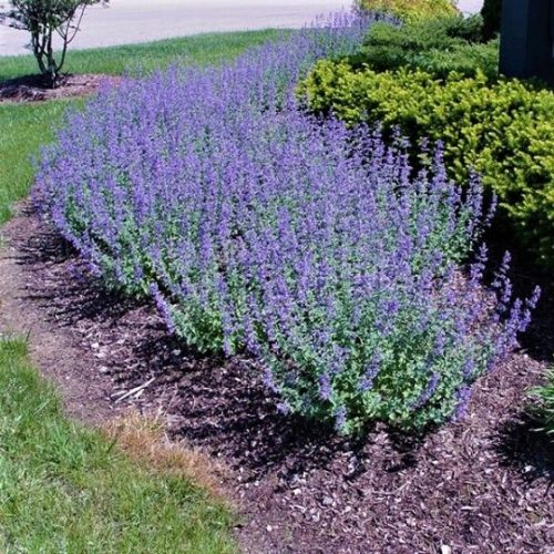 Walker's Low Catmint Overview