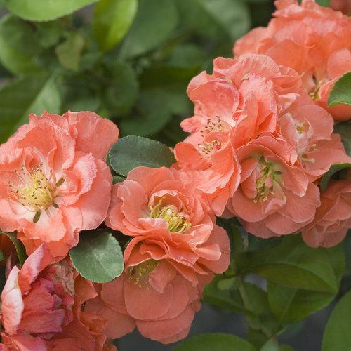 Double Take Peach - Quince - Chaenomeles speciosa