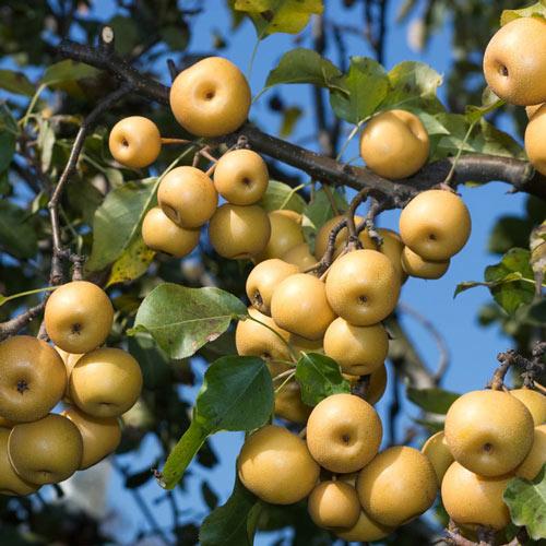 Shinko Asian Pear Tree