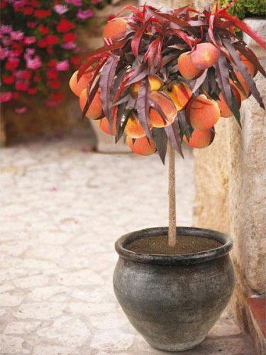 Bonfire Patio Peach Tree