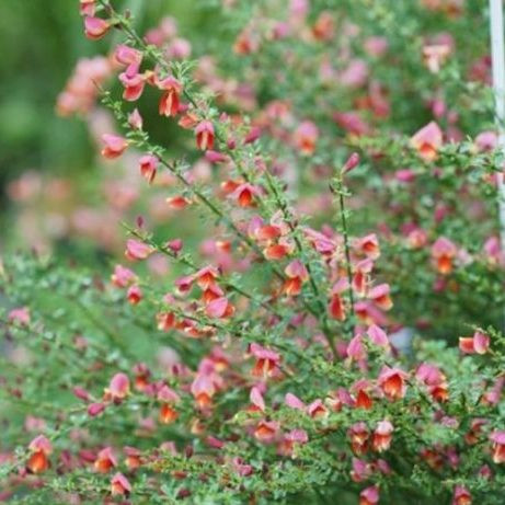 Scotch Broom Sister Rosie Overview