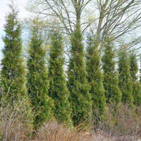 American Pillar Arborvitae