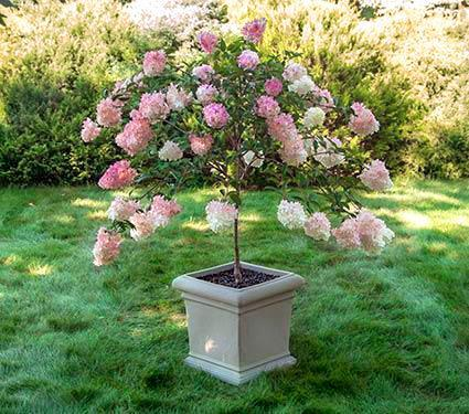 Pinky Winkyu00ae Hydrangea Tree