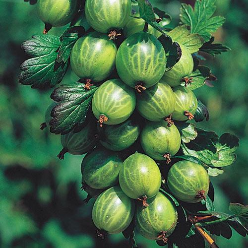 Pixwell Gooseberry Plant