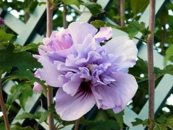 Double Purple Rose of Sharon Tree