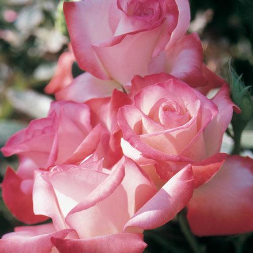 Gemini™ Hybrid Tea Rose Plant
