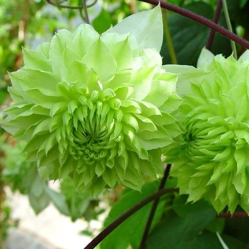 Clematis florida Alba Plena