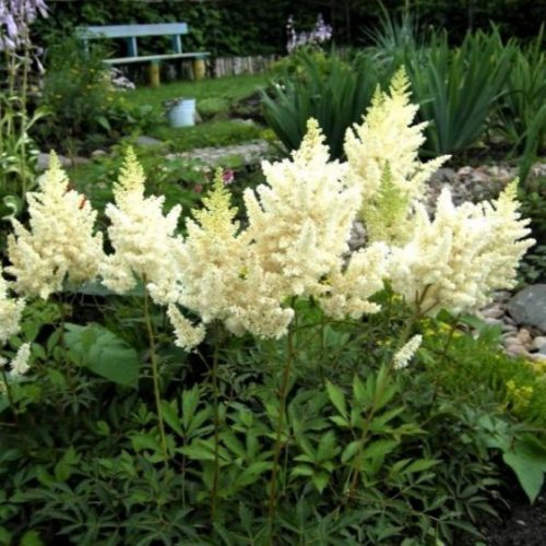 Visions in White Astilbe Overview