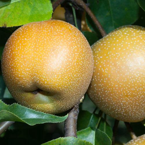20th Century Asian Pear Tree