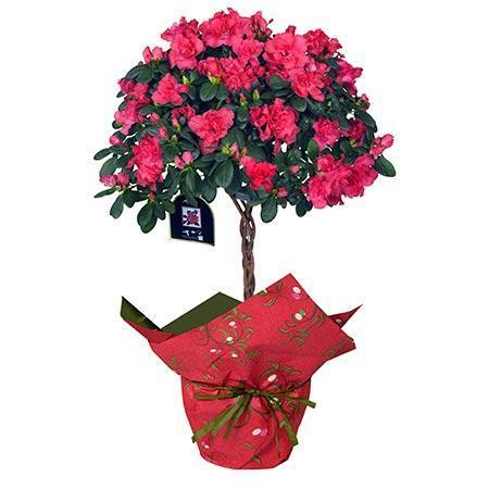 Blooming Azalea Gift - Topiary