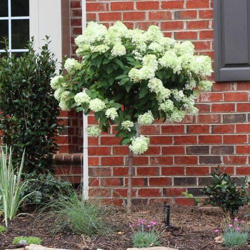 Little Lime® Hydrangea Tree