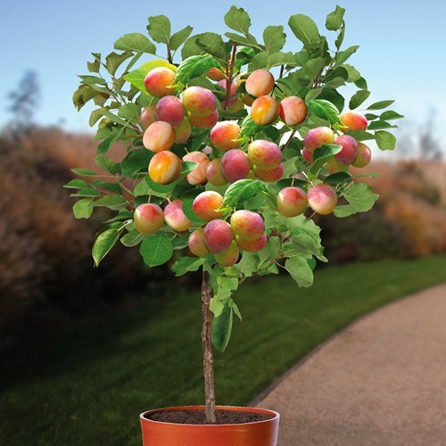 Plum Tree Prunus Mirabelle de Nancy