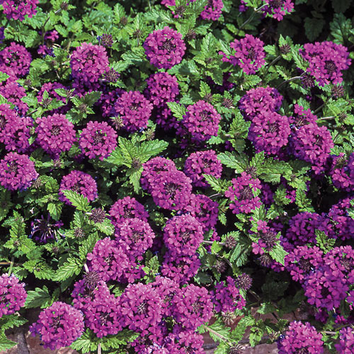 Homestead Purple Creeping Verbena Plant