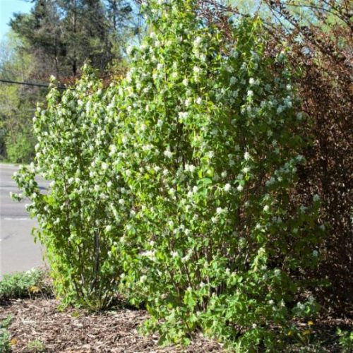 Standing Ovation Serviceberry Overview
