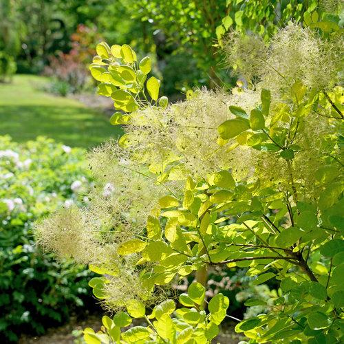 Winecraft Gold - Smokebush - Cotinus coggygria