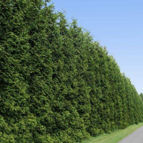 Thuja Green Giant Tree