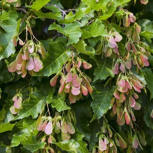 Acer tataricum subsp. ginnala 'Flame'