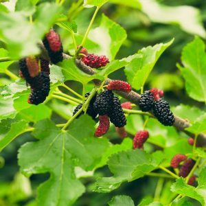 Everbearing Mulberry Tree