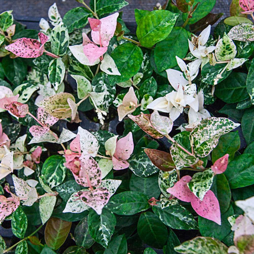 Snow-N-Summer™ Asiatic Jasmine