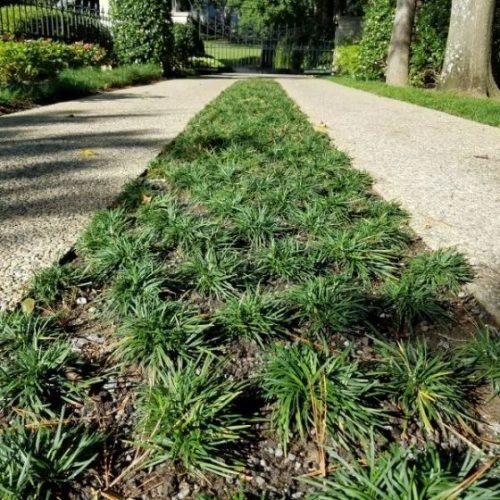 Dwarf Mondo Grass Overview