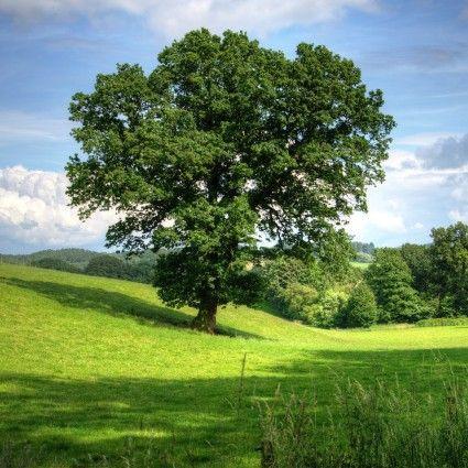 Texana Nuttall Oak overview