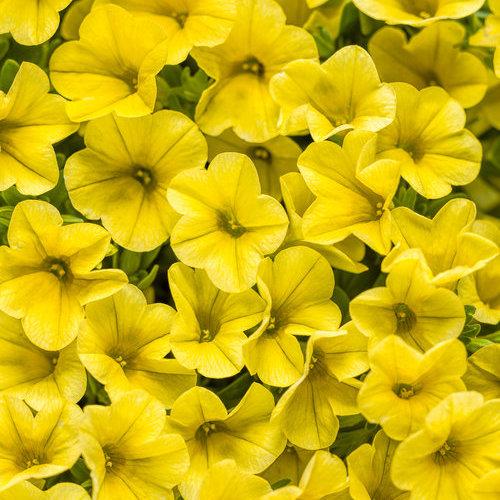 Superbells Yellow - Calibrachoa hybrid