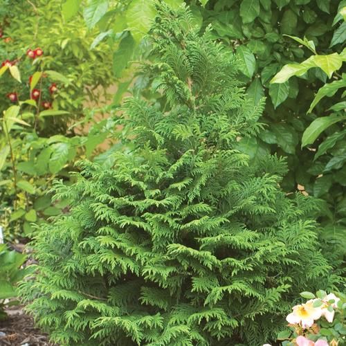 Soft Serve - False Cypress - Chamaecyparis pisifera