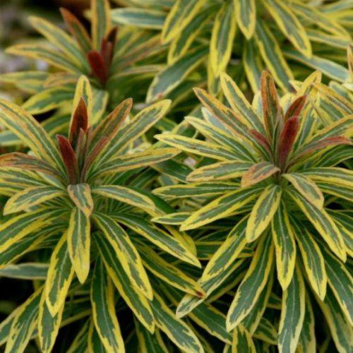 Euphorbia Ascot Rainbow overview