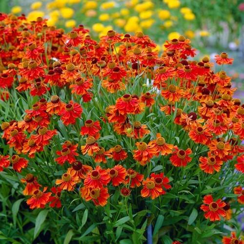 Helenium Moerheim Beauty 9 cm pot