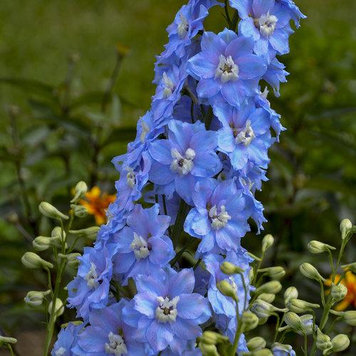 Million Dollar Sky - Hybrid Bee Delphinium - Delphinium elatum