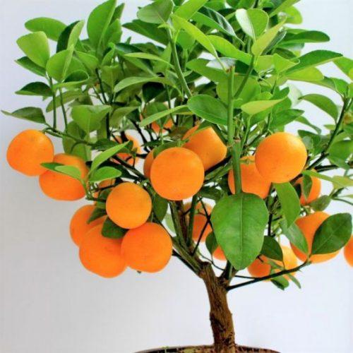 Clementine Mandarin Overview