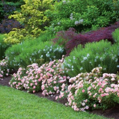 Peach Drift Groundcover Rose Overview