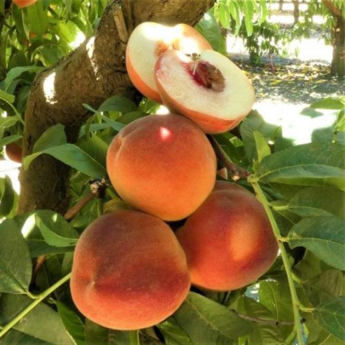 White Lady Peach Tree Overview