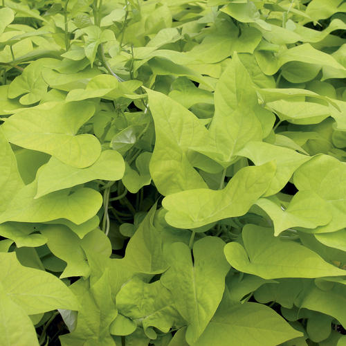 Proven Accents Margarita - Sweet Potato Vine - Ipomoea batatas