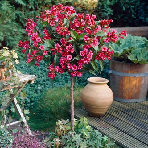 Red Prince Weigela Tree
