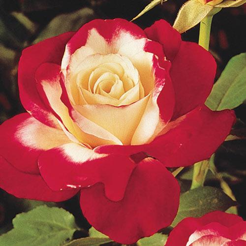 Double Delight Hybrid Tea Rose