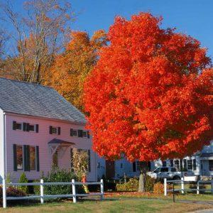 Autumn Blaze® Red Maple Tree