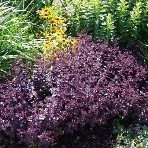 Sedum Purple Emperor landscape