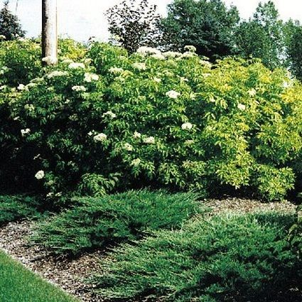 Golden Elderberry landscape