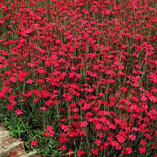Dianthus deltoides Red  9 cm pot