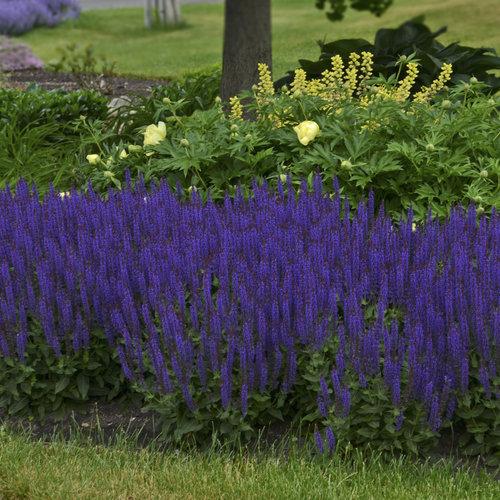 Color Spires 'Violet Riot' - Perennial Salvia - Salvia nemorosa