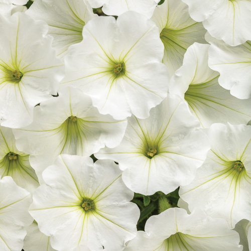 Supertunia Vista Snowdrift - Petunia hybrid