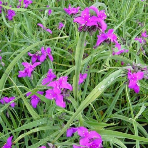 Concord GrapeSpiderwort blooms and foliage