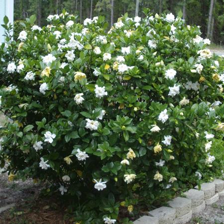 Four Seasons Gardenia Shrub