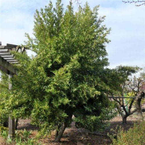 Compact Carolina Cherry Laurel