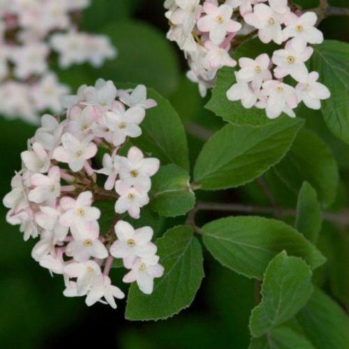 Judd Viburnum blooms and foliage