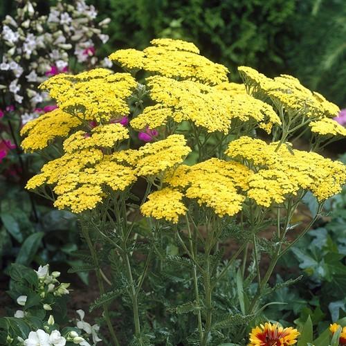 Achillea millefolium yellow